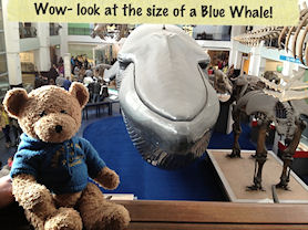 Wow - look at the size of a Blue Whale!